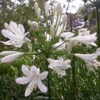 Agapanthus praecox - Medium White