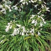 Agapanthus praecox - Miniature White
